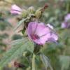 Алтей лікарський: вирощування