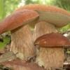 Білі гриби - корисні властивості