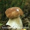 Білий гриб росте в лісі, ніж корисний
