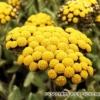 Безсмертник - про корисні властивості і протипоказання рослини