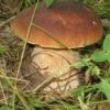 Цілющі властивості білих грибів