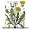 Чим корисні квіти, коріння і листя кульбаби?