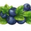 Що можна приготувати з ягід чорниці?