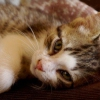 Чумка у кошек: симптомы и лечение