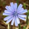 Цикорій розчинний: користь і шкода