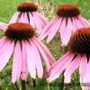 Квіти ехінацеї: про лікувальні властивості, вирощуванні