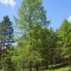 Дерево сибірська модрина