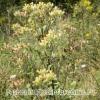 Дивосил блошного - трава лікувальна, оману застосування