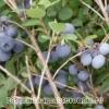 Лохина - гонобобель ягода, фото, рецепт, склад, застосування