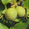 Волоські горіхи - корисні властивості