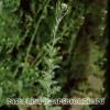 Гулявнік струменистий має блідо-жовтий колір квіток