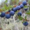 Ягода лохина: корисні властивості лохини
