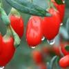 Ягоди годжі. Чи корисні ці ягоди? Як правильно їх їсти?