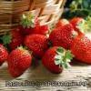 Як зберегти полуницю на зиму? Чим корисна полуниця для людини?