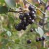 Як вирощувати чорноплідна горобина