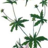 Калган - застосування в народній медицині, властивості, рецепти, протипоказання, фото