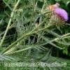 Кінари (артишок) - лікування, склад, де росте