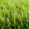 Когда сажать газонную траву?