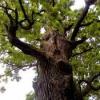 Кора дуба - властивості лікувальні