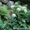 Козелець (борщівник) рослина - дудник лісовий. Фото. Застосування