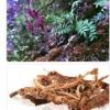 Червоний корінь застосування і властивості