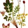 Кровохлебка - протипоказання, застосування, лікування, властивості