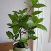 Лавровое дерево (лавр) в домашних условиях