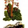 Лікарська рослина бадан товстолистий