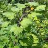 Лікарська рослина діоскорея ніпонська