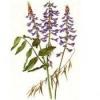 Лікарська рослина галега