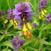 Лікарська рослина іван-да-мар'я