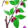 Лікарська рослина кизил