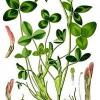 Лікарська рослина конюшина луговий