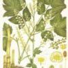 Лікарська рослина клопогін даурский