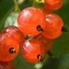 Лікарська рослина червона смородина