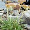 Лікарська рослина патрін середня (кам'яна валеріана)