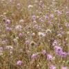 Лікарська рослина сухоцвіт однорічний