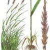 Лікарська рослина очерет звичайний