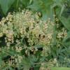 Лікарська рослина василистник звичайний