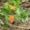 Лікарські рослини: очний колір польовий