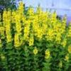 Лікарські рослини: вербейник звичайний