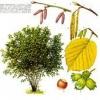 Лісовий горіх - користь, чим корисний, фото