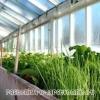 Про вирощування салату, цибулі, кропу і петрушки в теплиці