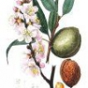 Звичайний мигдаль: лікарська рослина