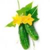 Огірки свіжі: корисні властивості, користь і шкода