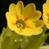 Первоцвіт весняний - ранній лікар