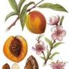 Плодове дерево персик звичайний
