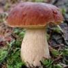 Корисні властивості білих грибів