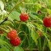 Корисні властивості ягід, листя і квітів малини