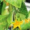 Корисні властивості огірків